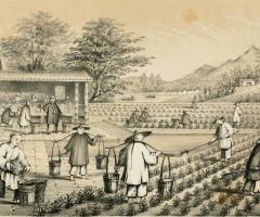 Çayın Tarihçesi